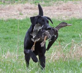 Hunting retriever with duck