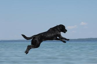 Labrador retriever training